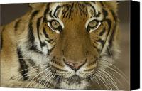 Henry Doorly Zoo Canvas Prints - A Siberian Tiger Panthera Tigris Canvas Print by Joel Sartore