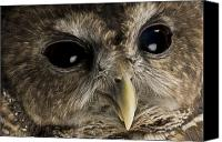 Captive Canvas Prints - A Threatened Northern Spotted Owl Canvas Print by Joel Sartore