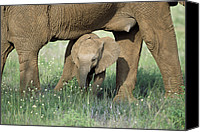 Suckling Canvas Prints - African Elephant Loxodonta Africana Canvas Print by Karl Ammann