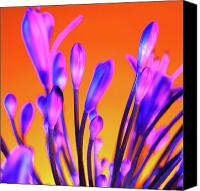 African Lily Canvas Prints - African Lily (agapanthus Sp.) Canvas Print by Johnny Greig