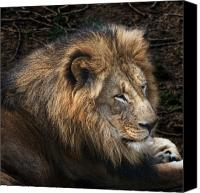 Animal Portrait Canvas Prints - African Lion Canvas Print by Tom Mc Nemar