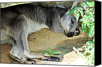 Wallaby Canvas Prints - Afternoon Siesta Canvas Print by Jan Amiss Photography