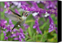 Annas Hummingbird Canvas Prints - Air Suspension Canvas Print by Fraida Gutovich