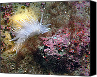 Father Christmas Canvas Prints - Alabaster Nudibranch Canvas Print by Derek Holzapfel