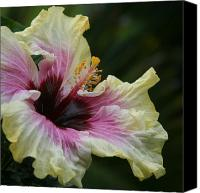 Haiku Canvas Prints - Aloha Aloalo Tropical Hibiscus Haiku Maui Hawaii Canvas Print by Sharon Mau