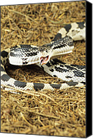 Forest Floor Canvas Prints - American Pine Snake Canvas Print by David Aubrey