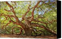 Low Country Canvas Prints - Angel Oak Tree Canvas Print by Drew Castelhano