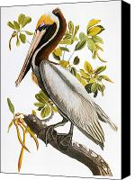 Flk Canvas Prints - Audubon: Pelican Canvas Print by Granger
