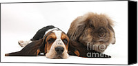 Droopy Canvas Prints - Basset Hound And Rabbit Canvas Print by Mark Taylor