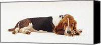 Hound Canvas Prints - Basset Hound Puppy Canvas Print by Jane Burton