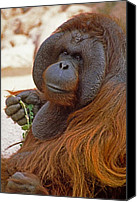 Orangutan Photo Canvas Prints - Big Daddy Canvas Print by Michele Burgess