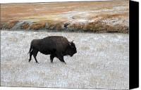 Bison Canvas Prints - Bison in Yellowstone National Park Canvas Print by Pierre Leclerc