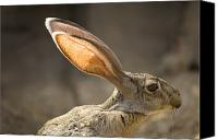 Property Released Photography Canvas Prints - Black-tailed Jackrabbit Lepus Canvas Print by Joel Sartore