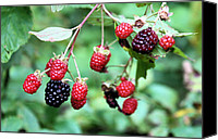 Invasive Canvas Prints - Blackberries Canvas Print by Kristin Elmquist