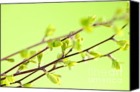 Buds Canvas Prints - Branches with green spring leaves Canvas Print by Elena Elisseeva