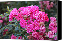 Kim Bird Canvas Prints - Bright Pink Roses Canvas Print by Kim Bird