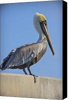 Pelican Canvas Prints - Brown Pelican Canvas Print by Adam Romanowicz