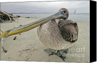 Birds Canvas Prints - Brown Pelican  Canvas Print by Dustin K Ryan