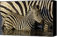 Animals And Earth Canvas Prints - Burchells Zebra Equus Burchellii Foal Canvas Print by Pete Oxford