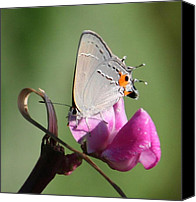 Insects Pyrography Canvas Prints - Butterfly Elegance  Canvas Print by Valia Bradshaw