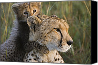 Acinonyx Canvas Prints - Cheetah Acinonyx Jubatus And Cub Canvas Print by Suzi Eszterhas