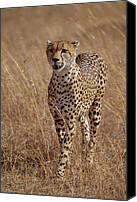 Acinonyx Canvas Prints - Cheetah Acinonyx Jubatus Portrait Canvas Print by Gerry Ellis