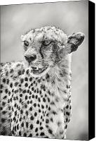 Black And White Cats Canvas Prints - Cheetah Canvas Print by Adam Romanowicz