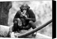 Chimpanzee Photo Canvas Prints - Chester Canvas Print by John Rizzuto