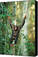 Chimpanzee Photo Canvas Prints - Chimpanzee Pan Troglodytes Juvenile Canvas Print by Cyril Ruoso