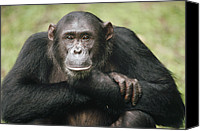 Chimpanzee Canvas Prints - Chimpanzee Pan Troglodytes Portrait Canvas Print by Gerry Ellis