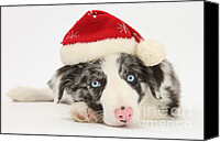 Father Christmas Canvas Prints - Christmas Collie Canvas Print by Mark Taylor