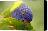 Colorful Feathers Photo Canvas Prints - Closeup Of A Rainbow Lorikeet Canvas Print by Tim Laman
