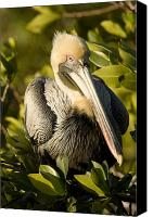 Pelicans Canvas Prints - Closeup Portrait Of A Brown Pelican Canvas Print by Tim Laman