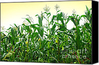 Row Canvas Prints - Corn Field Canvas Print by Carlos Caetano