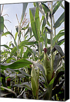 Mays Canvas Prints - Corn (zea Mays) Canvas Print by Victor De Schwanberg