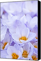 Crocus Canvas Prints - Crocus flowers Canvas Print by Elena Elisseeva