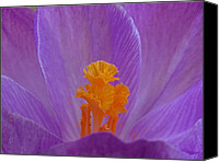 Close Up Canvas Prints - Crocus Canvas Print by Juergen Roth