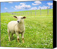 Sheep Photo Canvas Prints - Cute young sheep Canvas Print by Elena Elisseeva