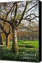 Outdoor Canvas Prints - Daffodils in St. Jamess Park Canvas Print by Elena Elisseeva