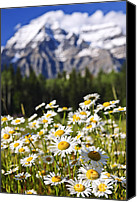 British Columbia Canvas Prints - Daisies at Mount Robson provincial park Canvas Print by Elena Elisseeva