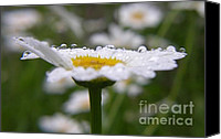 Daisies Pyrography Canvas Prints - Daisy in the Rain Canvas Print by Yumi Johnson