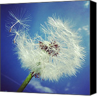 Featured Canvas Prints - Dandelion and blue sky Canvas Print by Matthias Hauser