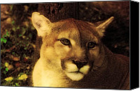 Mountain Lion Digital Art Canvas Prints - Deep In Thought Canvas Print by Jan Bonner