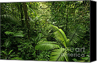 Vine Canvas Prints - Dense Tropical Rain Forest Canvas Print by Matt Tilghman