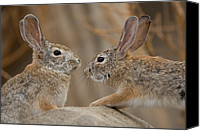 Henry Doorly Zoo Canvas Prints - Desert Cottontail Rabbits Canvas Print by Joel Sartore