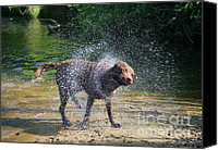 Shake Canvas Prints - Dog Shaking Off Canvas Print by Mark Taylor