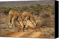 Giraffes Canvas Prints - Drinking in Tandem Canvas Print by Michele Burgess