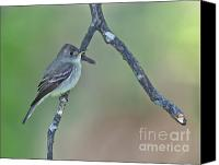 Eastern Wood-pewee Canvas Prints - Eastern Wood Pewee Canvas Print by James Mundy