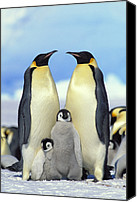 Animals And Earth Canvas Prints - Emperor Penguin Aptenodytes Forsteri Canvas Print by Konrad Wothe