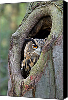 Animals And Earth Canvas Prints - Eurasian Eagle-owl Bubo Bubo Looking Canvas Print by Rob Reijnen